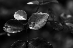 (Lily Kath) Tags: plants white plant black nature monochrome leaves rose contrast photography photo leaf bush lily picture thorns segerson