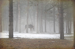 foggy solitude (Notkalvin) Tags: trees horse weather fog woods alone walk think pinetrees clearyourmind mikekline michaelkline notkalvin notkalvinphotography