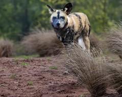 African Wild Dog coming down the trail (robby.ryan.t21) Tags: wildlife trail carnivore africanwilddog wilddog painteddog