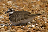 Mama Killdeer (emace) Tags: bird nature animal fauna female rural illinois spring killdeer wildlife country wilderness avian nesting shorebird charadriusvociferus centralillinois specanimal casscounty sitem birdperfect jimedgarpanthercreekstatefishandwildlifeconservationarea