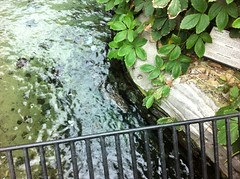 Alligator in Gaylord Palms Hotel