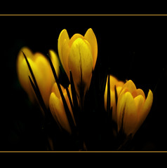 Yellow Crocus (Steve Wilson - classic view please) Tags: flowers black flower nature floral beautiful yellow blackbackground garden season gold golden spring flora glow seasons background crocus bloom glowing onblack yellowcrocus mygearandme mygearandmepremium mygearandmebronze mygearandmesilver mygearandmegold mygearandmeplatinum mygearandmediamond magicmomentsinyourlifelevel1magicmomentsinyourlifelevel2magicmomentsinyourlifelevel3 magicmomentsinyourlifelevel4
