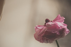 may i have this dance? (tumbleweed.in.eden) Tags: pink flowers macro window canon ballerina ranunculus dancer skirt bow curtsy t1i sliderssunday baileyfilmpresetbycararosephotos