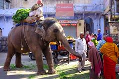 feeding the elephant (Shreyans Bhansali) Tags: street people india elephant vegetables animal feeding market oldcity rajasthan jodhpur