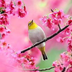 Singin' in the Flower (Ben To) Tags: pink flower bird nature animal heart ngc npc botanicgarden japanesewhiteeye songbird sunbird autofocus coth  taiwancherry supershot specanimal itsawonderfulworld avianexcellence ubej   coth5   cerasuscampanulata peregrino27life sunrays5