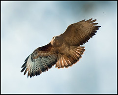 Buzzard in Flight 2 (Andy Short's Nature Photography.) Tags: birds speed movement colours wildlife flight buzzard sprig birdwatcher greatphotographers thegalaxy specanimal nikond90 avianexcellence alittlebeauty everythinggoodinnature