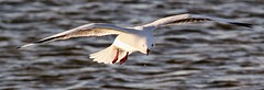 Incoming (robynbrody) Tags: ocean sea seagulls bird beach water fauna geotagged bay australia birdsinflight portbroughton fishermansbay yorkepeninsular