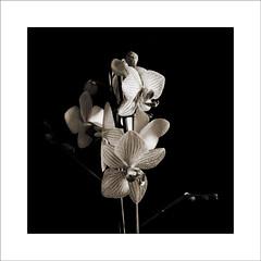Sin título (Jose Luis Durante Molina) Tags: flowers bw naturaleza plant flores flower macro nature plantas vegetable bn orquidea vegetal virado fantasticflower joseluisdurante