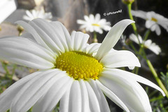 """Yahoo, over here"" (Steve Taylor (Photography)) Tags: newzealand christchurch white flower yellow canterbury petal nz daisy southisland waving"