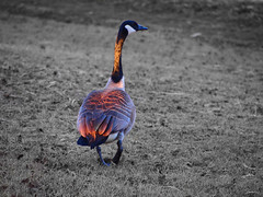 94/366 another goose (Robbyadam) Tags: goose reddeer canadagoose ep3 robbyadam