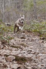 Bunny Dog (Serena Hsia) Tags: dog pet pets dogs puppy hiking pitbull trail doggy americanpitbullterrier traildog hikingwithdogs