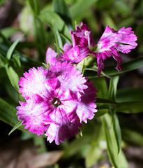 Pentax K-1 Macro Tests, A walk through the garden and woods with the Pentax-FA 50mm f/2.8 macro (B. Gohacki) Tags: plants flower macro digital forest pentax flash dslr ricoh strobe k1 50mmf28 smcpentaxfa