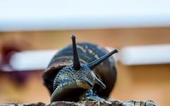 Slow Moving! (BGDL) Tags: fence garden snail odc nikond7000 macroorcloseup bgdl afsmicronikkor40mm128g lightroomcc