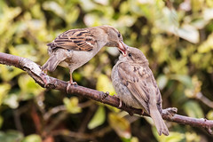 Feed me! Feed me! (DavidHowarthUK) Tags: garden may housesparrow essex colchester 2016