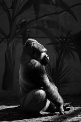 Buddha (nyanc) Tags: park travel portrait blackandwhite bw male netherlands monochrome animal prime zoo monkey blackwhite nikon europa europe flickr king gorilla zwartwit buddha nederland sigma indoor portret dier f28 animalia mammalia aap primates enormous ouwehandsdierenpark chordata mensaap d5200