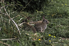 Bold Bunnies (me'nthedogs) Tags: somerset rabbits steart