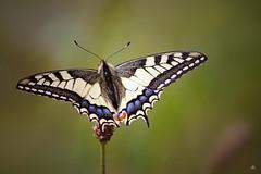 Koninginnenpage (Papilio machaon) (mia_moreau) Tags: macro butterfly insect flickr sony nederland natuur limburg vlinder zuidlimburg natuurgebied papiliomachaon molenplas koninginnenpage stevensweert sonya58 miamoreau oudvestingstadjestevensweert