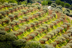 Olive trees of Andalucia (Sladjan S) Tags: tree spain olives