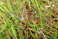 Assynt Dragonfly (milnefaefife) Tags: nature grass animal insect coast scotland highlands dragonfly hills moor moorland stoer assynt northwesthighlands pointofstoer stoerhead