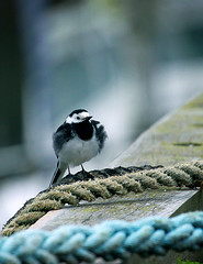 Pied Wagtail (andywilson1963) Tags: bird nature scotland wildlife pied stonehaven wagtail
