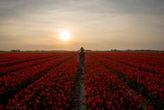 Let the beauty of what you love be what you do... (CarolienCadoni..) Tags: light sunset red sky sun netherlands backlight zeiss photography sundown tulips sony nederland groningen backshot uithuizermeeden sal2470z sonyslta99