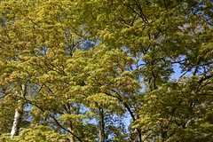 (lucasual) Tags: sky tree green leaves spring maple acer acerpalmatum