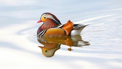 Mandarin duck in the Wild (M inspired by nature) Tags: wild holland beautiful reflections wonderful duck wildlife mandarin nl mandarinduck ijssel aixgalericulata mandarijneend