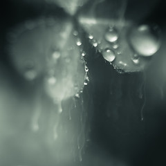 Feel the Spring Rain (Charles Opper [Catching Up]) Tags: blackandwhite bw nature monochrome rain canon square droplets petals drops spring bokeh atmosphere oxalis icm intentionalcameramovement
