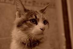 Runi (siinestesiia) Tags: portrait sepia cat photography nikon kitten retrato gatita runi nikond5200
