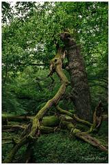 Tree and trunks, Fontainebleau Forest, France (Bigmob Dontwannastop) Tags: tree forest woods thunder thunderbolt lightning strike burn trunk broken leaves green summer spring grass