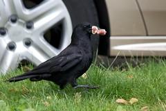 Struttin' With Lunch (Stirrett6) Tags: bird crow corvid perching