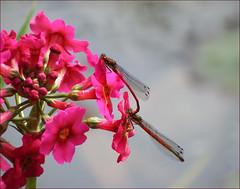 More Wildlife (jo92photos) Tags: insect mating embrace damselfly pyrrhosomanymphula largereddamselfly 522016week21