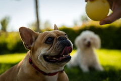 Spice Girl and Ball (ffoggy40) Tags: dog pet pets game dogs animal canon ball outside dof bokeh outdoor spice depthoffield frenchbulldog tamron fetch 6d frenchy tamron2470