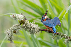 Kingfisher (John Ambler) Tags: male bird water john photographer wildlife ngc photographs kingfisher ambler johnambler