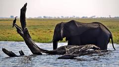 15-09-20 Ruta Okavango Botswana (215) R01 (Nikobo3) Tags: travel parque naturaleza animals fauna nikon ngc delta unesco viajes animales botswana okavango d800 twop frica vidasalvaje omot deltadelokavango nikond800 rochobe nikon7020028vrii tc20eiii flickrtravelaward parquenacionalchobe nikobo josgarcacobo