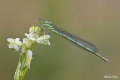 Erythromma lindenii - Female (alfvet) Tags: macro nature nikon dragonflies ngc natura libellule insetti sigma150 parcodelticino odonati d5200 veterinarifotografi