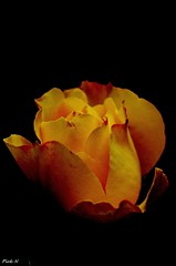 Khan`s Yellow (麻瓜不懂魔法 (OFF)) Tags: flower rose yellow pentax micro khan soe k5 watcher 1001 supershot topshots bej flickraward photosandcalendar flowersarebeautiful platinumheartaward goldstaraward natureselegantshots aplumblossom flickrflorescloseupmacros panoramafotogrfico flickrsportal esenciadelanaturaleza blinkagain bestofblinkwinners art2011 rosesforeveryone magicosmomentosentuvida dfamacro10028wr