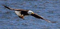 Bald Eagle with Fish (Windows to Nature) Tags: nikon eagle baldeagle iowa raptor mississippiriver withprey leclaire d7000 sigma150500mmos ld14 birdperfect windowstonature