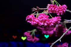 love with sakura    DSC_5024 (Ming - chun ( very busy )) Tags: travel flower cherry blossom  cherryblossom sakura    sukura