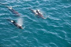 Long-finned Pilot Whales (durktalsma) Tags: ocean antarctica southatlantic longfinnedpilotwhales