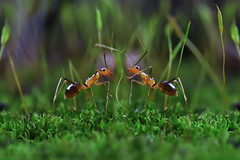 THE CONVERSATION,,,,( in the small world) (ManButur PHOTOGRAPHY) Tags: macro green nature canon eos ant small sigma ants 105mm 450d