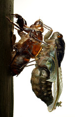 DSC08853 cópia (Bucci 10) Tags: brazil insectos macro brasil sãopaulo sony flash insects inseto robson diffuser joaninha experimento bucci macrophoto biologia insetos monstro formiga grilo besouro naturesfinest cigarra louvadeus macroextreme jardimbotânicosp 50mmmacro outstandingshots biologo alpha100 difusor infinestyle flickrdiamond magicofaworldinmacro 2flash macromarvels macrolife macroelsalvador excapturemacro natureselegantshots robão 50mmquantaraymacrotech10mxaf flashdiyflashdiffuser alpha390 robsonbucci