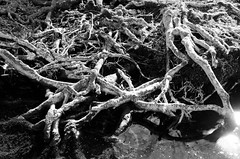 Crossed White Roots (barkingduck99) Tags: old shadow bw copyright sunlight white abstract black reflection tree nature water monochrome silhouette contrast river pattern glow glare angle bright bare bottom gray perspective nj roots bank x dreamy reach shallow concept crossed richardkownacki