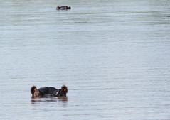 Observing (Nanix10) Tags: africa wild water animal gua southafrica wildlife hippos krugernationalpark krugerpark africadosul hipopotamo