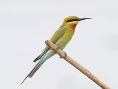 Blue-tailed Bee-eater (ChongBT) Tags: blue nature birds animals wildlife sigma olympus bee malaysia penang avian tailed eater e5 beeeater bluetailed 300800 pulauburung