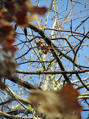 Day 357 - Holding on or Letting Go (Yugidean) Tags: spring deadleaves buds itsalmosttimeforspring