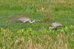 DSC_0136 (68photobug) Tags: park nature nikon florida wildlife reserve marsh wilderness preserve colt sandhillcrane polkcounty d90 cbbr sandhillcranefamily sandhillcranechick circlebbar youngsandhillcrane sandhillcraneegg marshrabbitrun sandhillcranenest 68photobug mothersandhillcrane