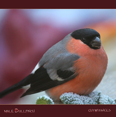 Male Bullfinch....1,  one of our prettiest birds. (Tony / Guy@Fawkes) Tags: bird ngc npc bullfinch bulfinch specanimal 10nw naturethroughthelens saariysqualitypictures 5wonderwall allofnatureswildlifelevel1 allofnatureswildlifelevel2 allofnatureswildlifelevel3 rememberthatmomentlevel4 rememberthatmomentlevel1 sunrays5 rememberthatmomentlevel2 rememberthatmomentlevel3 freedomtosoarlevel1birdphotosonly freedomtosoarlevel2birdphotosonly freedomtosoarlevel3birdphotosonly freedomtosoarlevel4birdphotosonly freedomtosoarlevel3birdsonly freedomtosoarlevel4birdsonly freedomtosoarlevel3birsdonly vigilantphotographersunite vpu2 vpu3