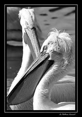 Visite de la Réserve de la Haute-Touche (LEPOLAU2008) Tags: france ed nikon indre g pelican nikkor fr parc blanc vr pelecanusonocrotalus d60 55200 animalier réserve 1456 obterre capturenx2 hautetouche