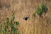 IMG_7136L4 (Sharad Medhavi) Tags: bird canoneod50d birdsandbeesoflakeshorehomes